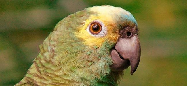 O pássaro Querido